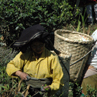 Tea picker - Darjeeling, India